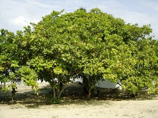 Cashew Tree indigenous to Northeastern Brazil - courtesy of Eric Gaba